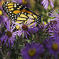 Monarch And Asters by Thomas Young