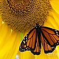 Monarch And Sunflower by Ann Horn