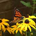 Monarch At Rest by Nicole Colella