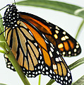 Monarch Beauty by Carolyn Marshall
