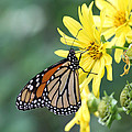 Monarch Beauty by Doris Potter