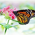 Monarch Beauty by Jim  Darnall