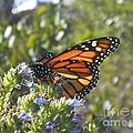 Monarch  by Bridgette Gomes