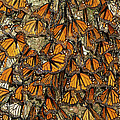 Monarch Butterflies Wintering by Thomas Marent