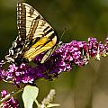 Monarch Butterfly 3 by Dennis Coates