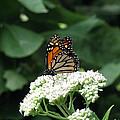 Monarch Butterfly 45 by Pamela Critchlow
