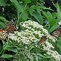 Monarch Butterfly 47 by Pamela Critchlow