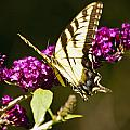 Monarch Butterfly 5 by Dennis Coates
