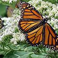 Monarch Butterfly 52 by Pamela Critchlow