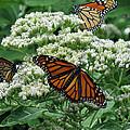 Monarch Butterfly 54 by Pamela Critchlow