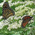Monarch Butterfly 56 by Pamela Critchlow