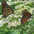 Monarch Butterfly 57 by Pamela Critchlow