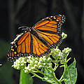 Monarch Butterfly 60 by Pamela Critchlow