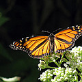 Monarch Butterfly 61 by Pamela Critchlow