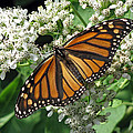 Monarch Butterfly 62 by Pamela Critchlow