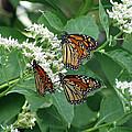 Monarch Butterfly 64 by Pamela Critchlow