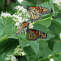 Monarch Butterfly 66 by Pamela Critchlow
