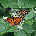 Monarch Butterfly 69 by Pamela Critchlow
