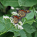 Monarch Butterfly 70 by Pamela Critchlow