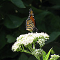 Monarch Butterfly 71 by Pamela Critchlow