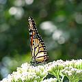 Monarch Butterfly 72 by Pamela Critchlow