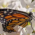 Monarch Butterfly by Adam Romanowicz