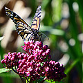 Monarch Butterfly by Alison Gimpel