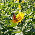 Monarch Butterfly And Guest by Kimberly Perry