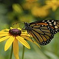 Monarch Butterfly by Anthony Sacco