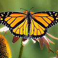 Monarch Butterfly by Bob Orsillo