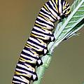 Monarch Butterfly Caterpillar by Millard H. Sharp
