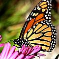 Monarch Butterfly by Christian Anderson