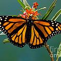 Monarch Butterfly Danaus Plexippus by Anthony Mercieca