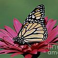 Monarch Butterfly Danaus Plexippus by Millard H. Sharp