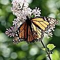 Monarch Butterfly  by Elizabeth Winter