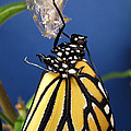 Monarch Butterfly Emerging From Chrysalis by Inspired Nature Photography Fine Art Photography