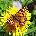 Monarch Butterfly Feeding On A Yellow Dandelion Flower by Jessica Foster
