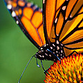 Monarch Butterfly Headshot by Bob Orsillo