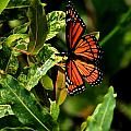 Viceroy Butterfly II by Michael Saunders