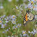Monarch Butterfly by James Wheeler