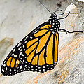 Monarch Butterfly Just Emerged From Her Chrysalis by Dawna Moore Photography