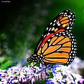 Monarch Butterfly by Karen Slagle