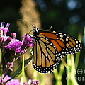Monarch Butterfly by Lingfai Leung
