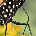 Monarch Butterfly Male Feeding by Ingo Arndt