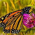 Monarch Butterfly On Flower by Jiayin Ma