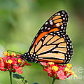 Monarch Butterfly On Lantana Flowers by Catherine Sherman