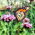 Monarch Butterfly On Pink Lantana by Susan Savad