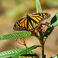 Monarch Butterfly On Plant With Eggs by Anthony Mercieca