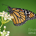 Monarch Butterfly On White Milkweed Flower by Catherine Sherman