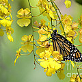 Monarch Butterfly On Yellow Orchids by Jill Lang